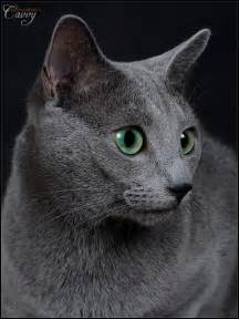 russian blue cat for 1000 ideas about korat cat on korat russian