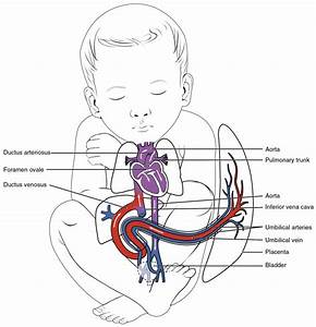 The Normal Neonate  U2013 Transition From Fetal Physiology