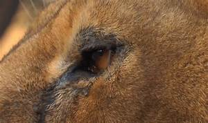 Touching video of lions crying after being saved from ...