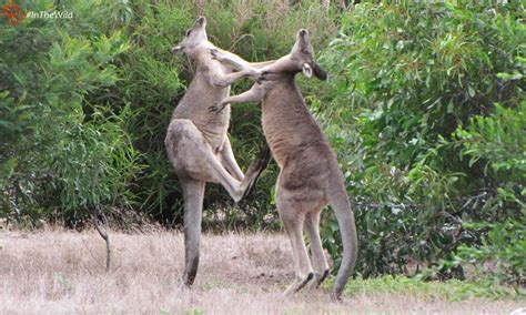 K Janine How Kangaroos Fight Echidna Walkabout Nature Tours
