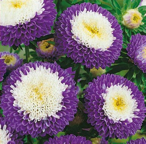 Liliput Blue Moon China Aster Seeds Flower Seeds For