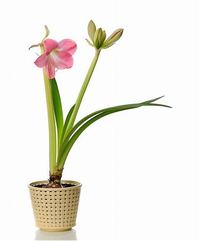 Tall Indoor Plants Amaryllis Plant Easy Blooming