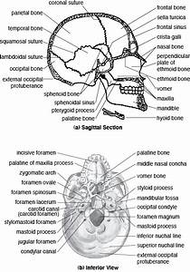 The Cranial Bones Image Galleries