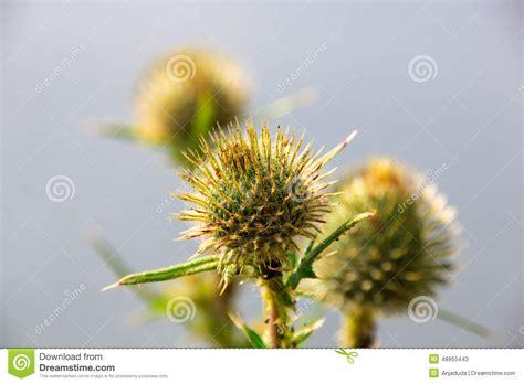 Marian Thistle Flower Stock Photo Image 48955443