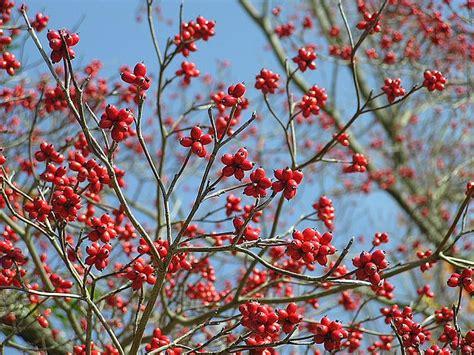 what deciduous tree has berries in winter feed the birds with autumn berries cox garden designs