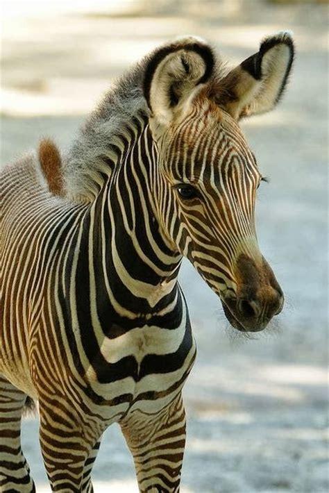 zebra baby animals foal zebras zoo grevy stripes babies cute female cincinnati animal horses racing savanna cutest face born zooborns