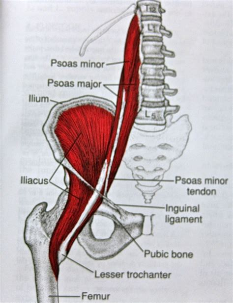 The hip region is located lateral and anterior to the gluteal region, inferior to the iliac crest. Anatomy Pictures Of Lower Back And Hip / Muscles Of The ...