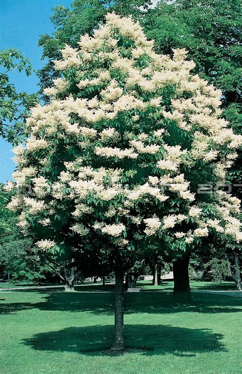 Lilac Tree by 25 Best Ideas About Japanese Lilac Tree On