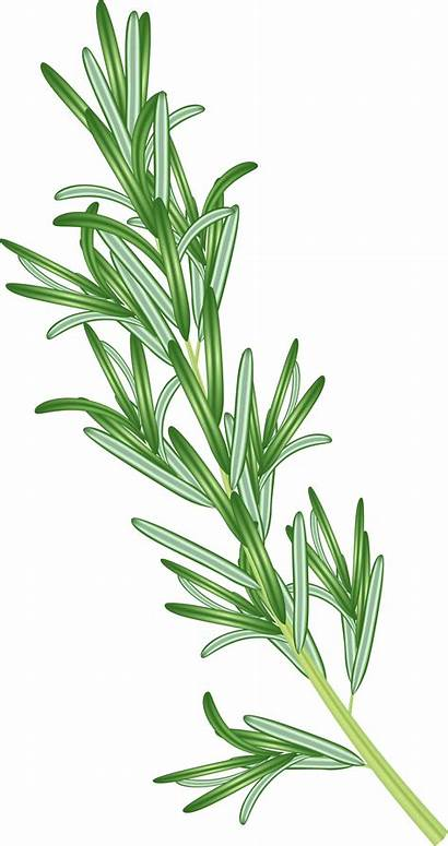 Herb Clipart Rosemary Banner Yopriceville
