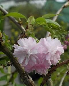 Pflanzen Für Japangarten : diese japanische h nge zierkirsche kaskadenkirsche f r den japangarten kaufen sie im shop ~ Sanjose-hotels-ca.com Haus und Dekorationen