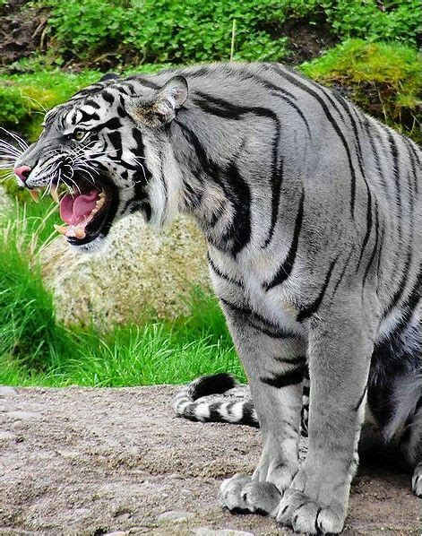 The Maltese Tiger Considered With