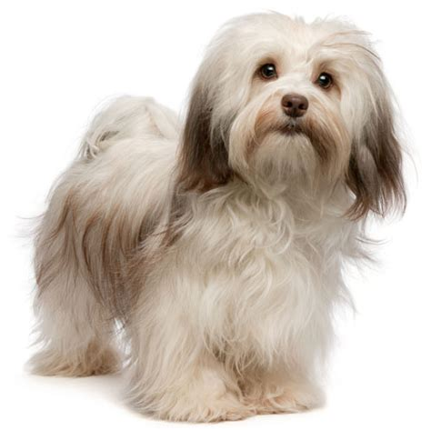 Big Dogs That Dont Shed Bad by Havanese Information Facts Pictures Training And Grooming