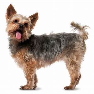 everything about your yorkshire terrier luv my dogs With yorkie dog house