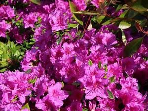 Gartensträucher Blühend Winterhart : japanische azalee 39 k nigstein 39 rhododendron obtusum 39 k nigstein 39 baumschule horstmann ~ Orissabook.com Haus und Dekorationen