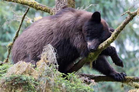 jeremy bears black bears anan