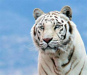 White Bengal Tiger | This photo had close to 300 faves ...