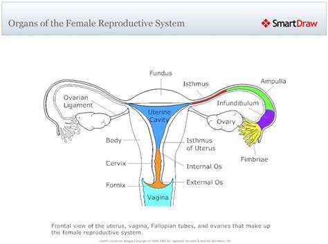 female reproductive system diagram diagram site