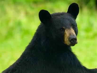 Bears Maine Slideshow Cyr Paul Down Downeast