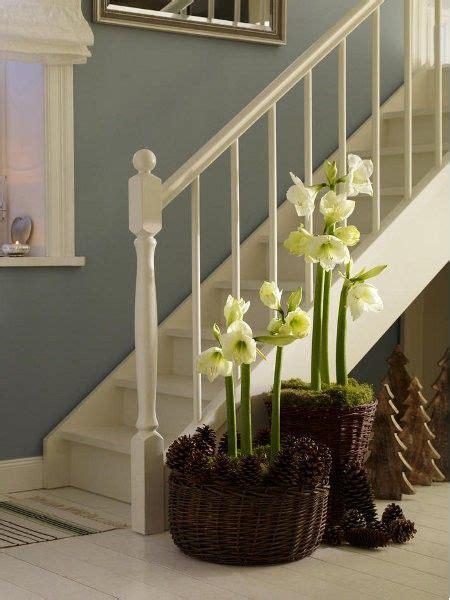 weihnachtsstern pflanze deko 220 ppige bl 252 tenpracht dank saisonblume amaryllis flower