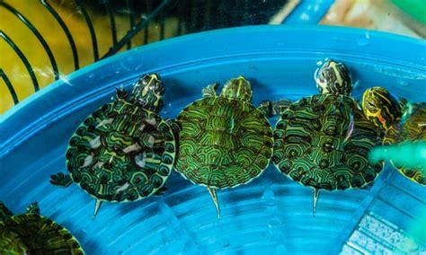 nourriture maison pour les tortues les reptiles et les poissons d aquarium trucs pratiques