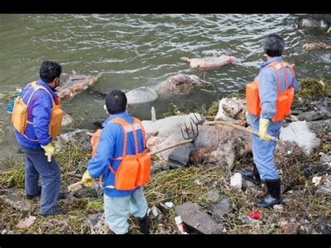 Pigs on the River Shanghai: Public Outcry Over Corpses ...