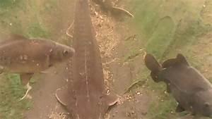 Karpfen Im Gartenteich : st r karpfen gr ndlinge und goldfische im teich gart ~ Lizthompson.info Haus und Dekorationen