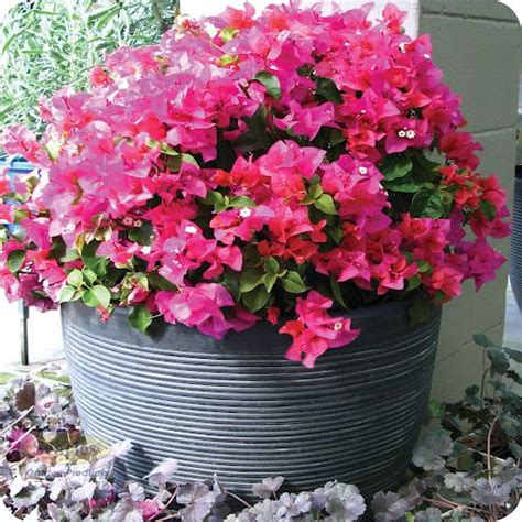 care of bougainvillea in pots sun loving flowers flowers nature