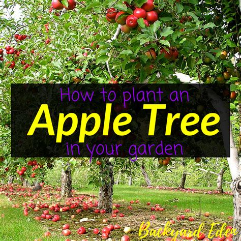 How to plant an apple tree in your garden - Backyard Eden