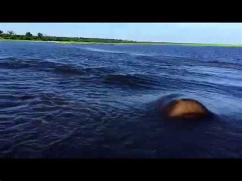 Hippo Chases Boat Underwater by The Reader