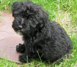 Black Poodle Mix Puppies