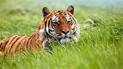 Tiger Amazing Siberian Wallpapers 1366 1280 1600