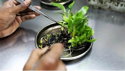 Tissue Culture Plant Utilize Different Technology Crops