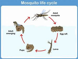 Mosquito Life Cycle  With Images