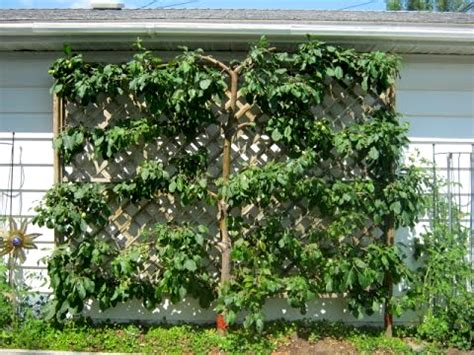 espalier fig trees for sale fig tree espalier 28 images 09 acres espalier fig or stepover espalier fig tree bing