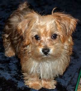 Brown Yorkie Poo Puppies