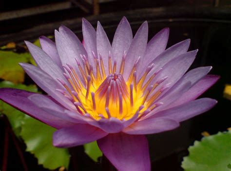 purple lotus flower flower hd wallpapers images