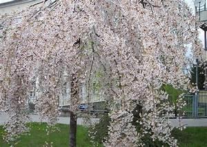 Kleine Bäume Für Vorgarten : geh lzliste b ume mit berh ngenden baumkronen ~ Michelbontemps.com Haus und Dekorationen