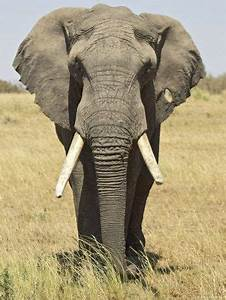 Front View of African Elephant with a Pierced Ear, Masai ...