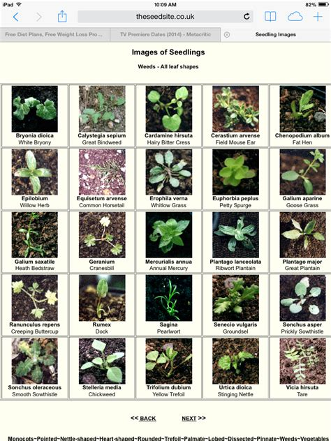 how to identify garden weeds weed seedling identification chart http theseedsite co uk vegseedlings html gardening
