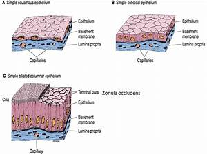 Mbbs Medicine  Humanity First   Epithelium