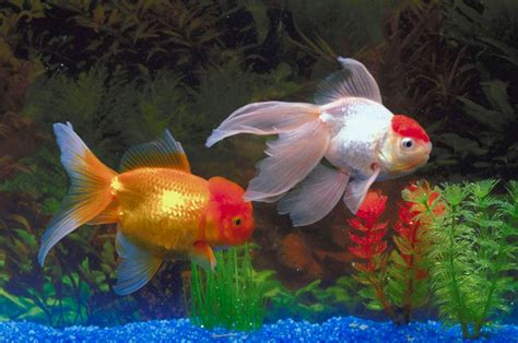 popular types  freshwater aquarium fish  living