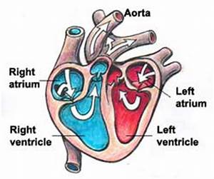 Names and functions of the heart | Education Technology ...