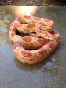 North Carolina Corn Snake