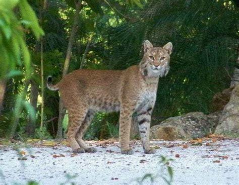 bobcat captiva north panther bobcats sanibel fort fishing myers saturday captivafishing report