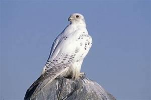Gyrfalcon, White Morph. Newfoundland, Canada | Bucket List ...