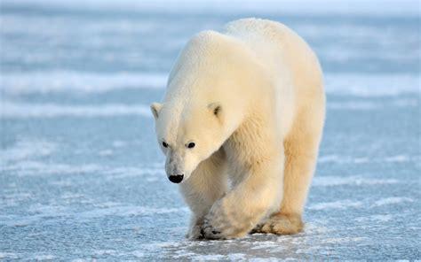 Polar Bears Hd Wallpaper
