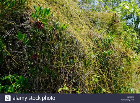 what is that vine dodder vine also known as love vine cuscuta sp smothering