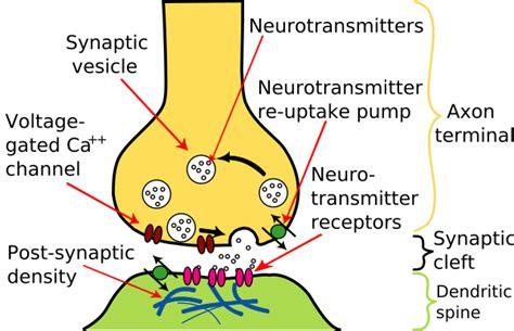 Synapse Illustration2 Tweaked.svg