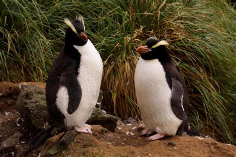 Crested Penguin