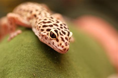 spotted gecko leopard gecko the life of animals